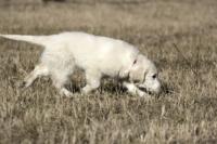 Rabbit-hunter Goldens Future's Hope